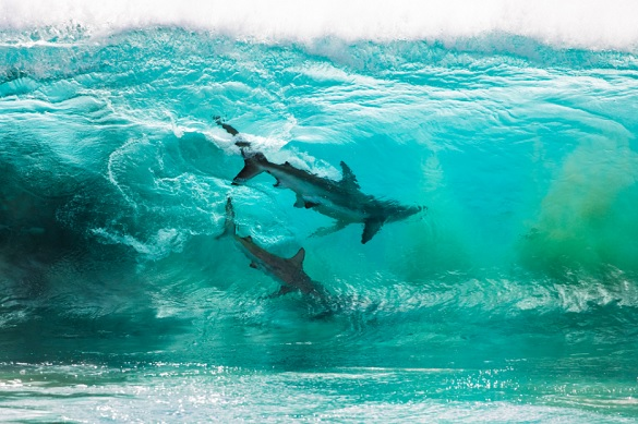 surfin-sharks-1