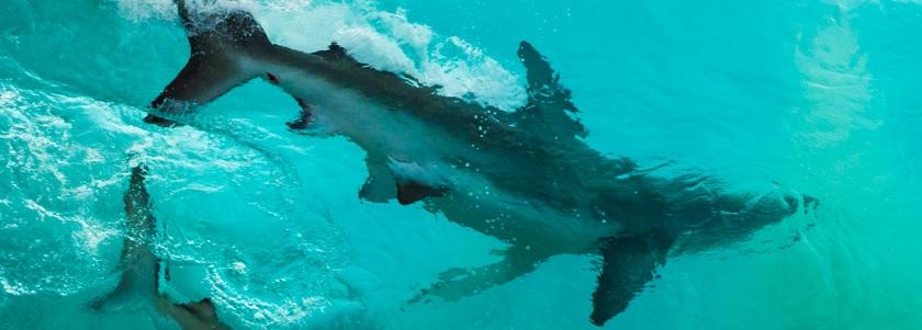 Surfin' sharks